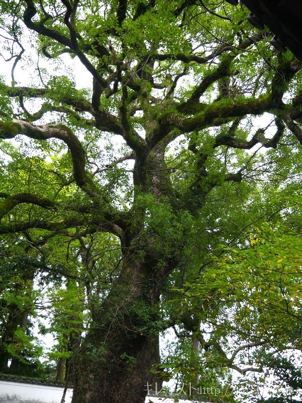 美肌の湯嬉野温泉瑞光寺樹齢800年の楠